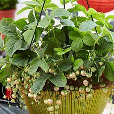 VanZyverden Cosmopolitan Pineberry Hanging Strawberry Basket 20-pie...