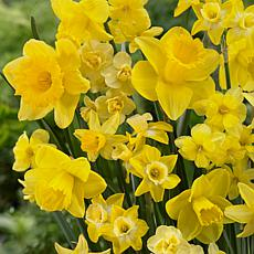 VanZyverden Daffodils Season of Sunshine Mixture 25pc
