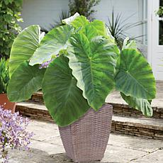 VanZyverden Elephant Ear Kit w/ Planter, Planting Medium and Bulb