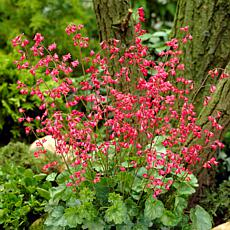 VanZyverden Heuchera Firefly Roots 5-Pack