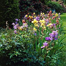 VanZyverden Iris Germanica Naturalizing Mixture 21pc