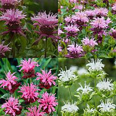 VanZyverden Perennial Plant of the Year '21 Monarda Collection 15Roots