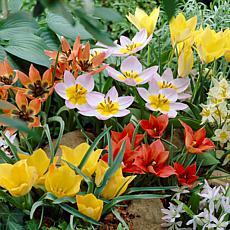 VanZyverden Tulips Little Treasures Collection 50pc Set