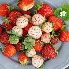 White Pineberry Strawberries With Pollinator Set of 20 Roots