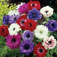 Wind Flowers Anemones St. Brigid Mixed Set of 25 Bulbs