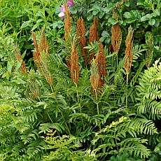Woodland Plant Cinnamon Fern Set of 3 Roots