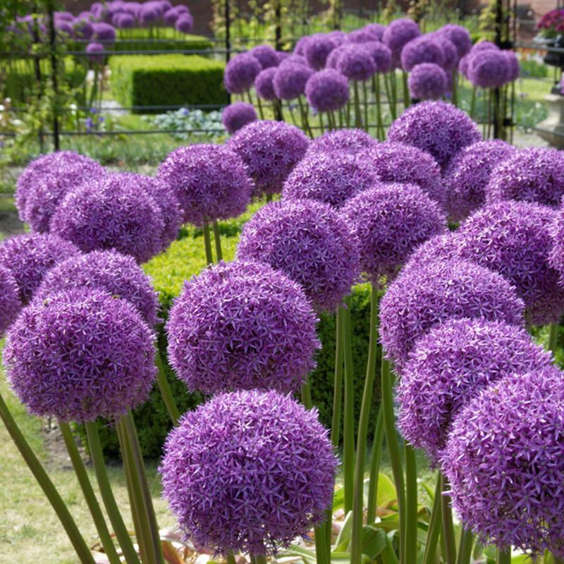 Allium Globemaster Set of 1 Bulbs
