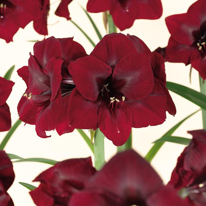 Amaryllis Royal Velvet Bulb