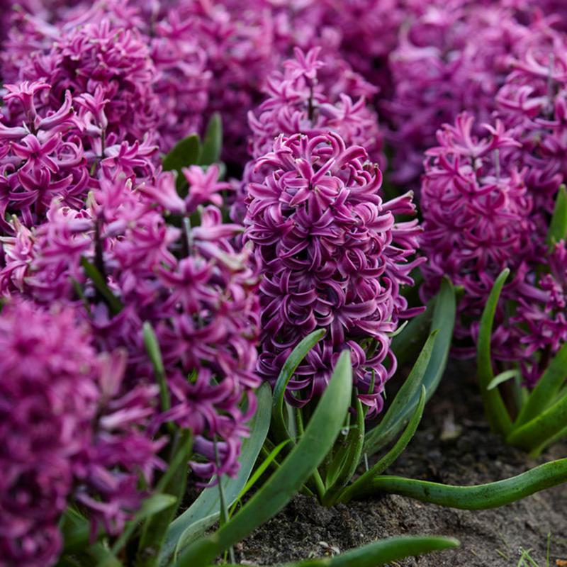 Hyacinths Purple Sensation Set of 10 Bulbs